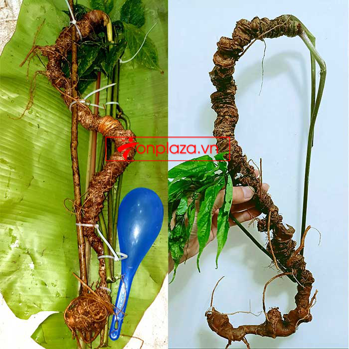 Sâm tự nhiên 3 lạng, 5 lạng, 6 lạng, 7 lạng 1 củ dài 50 đến 80 cm, tuổi từ 50 đến 80 năm