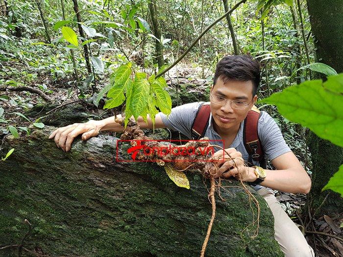 Bình sâm Ngọc Linh rừng tự nhiên 41 lít 6