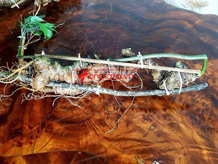 Bình sâm Ngọc Linh rừng tự nhiên 41 lít 11