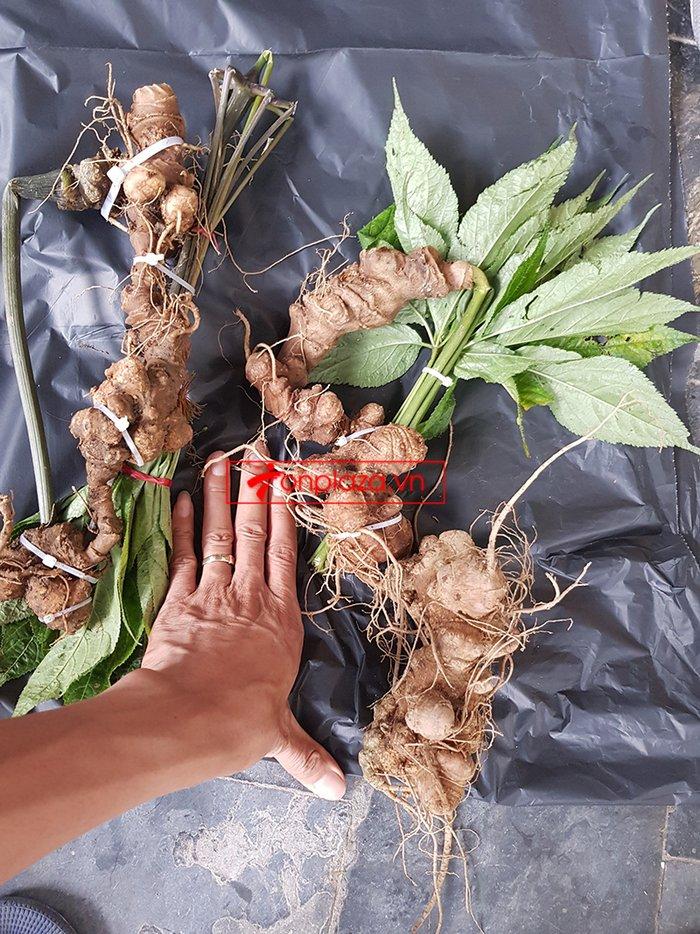 Bình sâm Ngọc Linh trồng cao cấp số 26 - thể tích lớn 41 lít 8