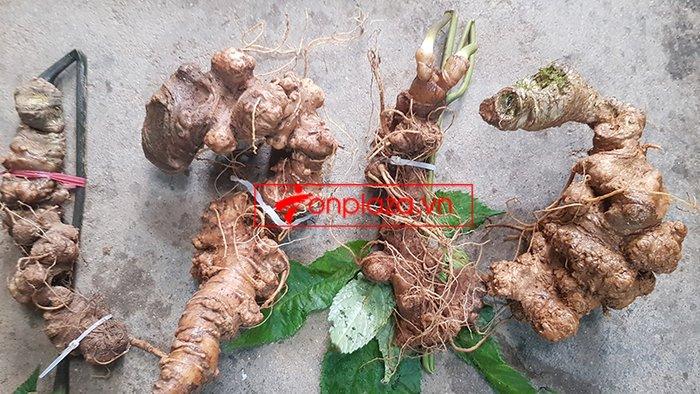 Bình sâm Ngọc Linh trồng cao cấp số 26 - thể tích lớn 41 lít 13