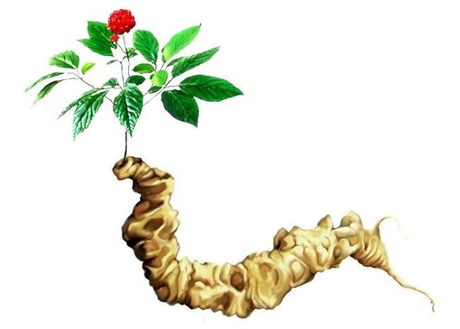 Sâm ngọc linh là gì ? Sâm Việt tốt nhất thế giới