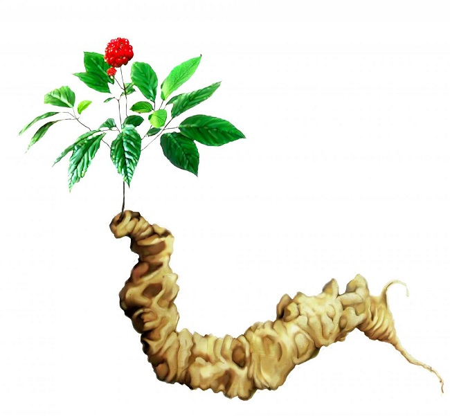 Giá trị dinh dưỡng của nhân sâm Ngọc Linh Quảng Nam