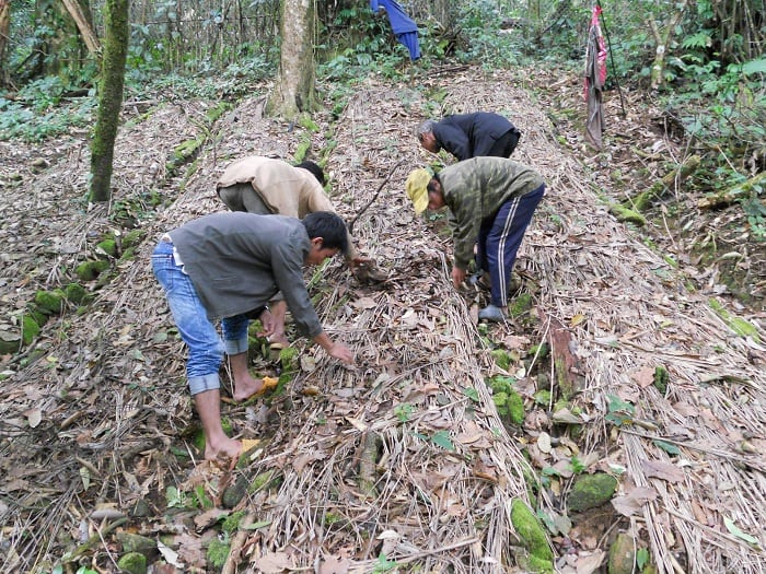 Sâm ngọc linh chỉ trồng trên vùng núi cao ở hai tỉnh Quảng Nam