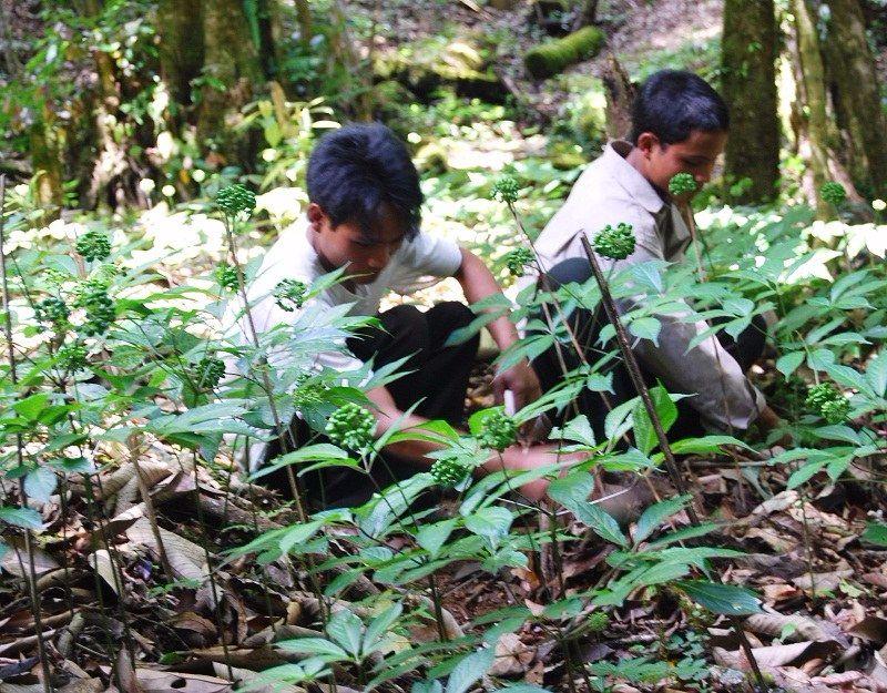 Người dân trồng sâm Ngọc Linh ở Quảng Nam