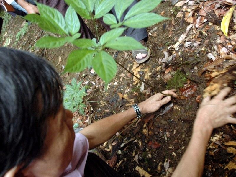 Qúa trình trồng sâm Ngọc Linh