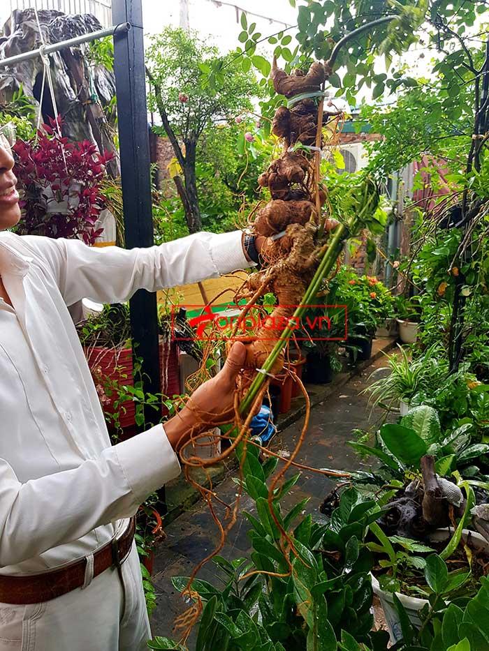 Sâm Ngọc Linh loại thượng hạng nặng 1,2 kg, dài 55cm, khoảng 40 tuổi 1