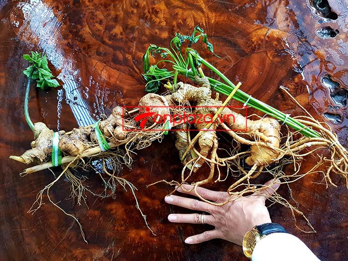 Sâm Ngọc Linh loại thượng hạng nặng 1,2 kg, dài 55cm, khoảng 40 tuổi 5