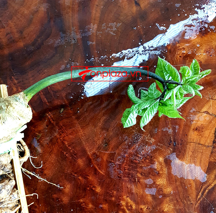 Sâm Ngọc Linh loại thượng hạng nặng 1,2 kg, dài 55cm, khoảng 40 tuổi 9