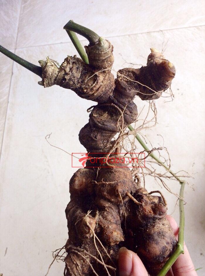 Sâm ngọc linh nguyên củ tự nhiên loại 5.9 lạng 3