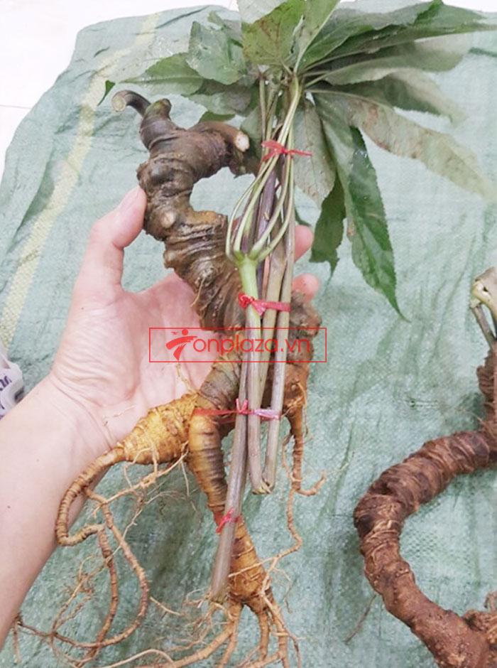Sâm ngọc linh nguyên củ tự nhiên loại 5.9 lạng 5