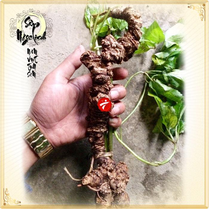 Sâm ngọc linh nguyên củ tự nhiên loại 5.9 lạng