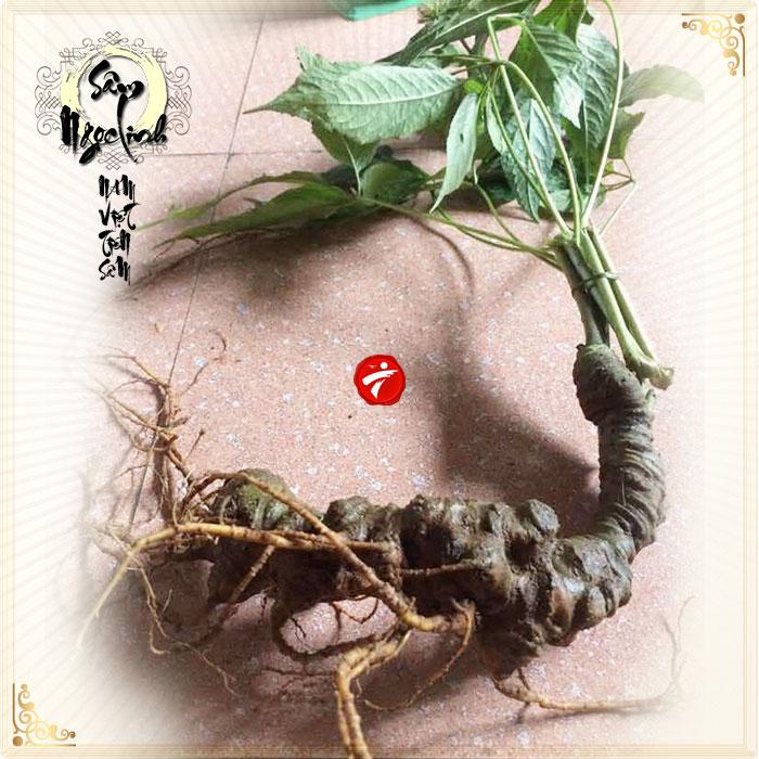 Sâm Ngọc Linh núi 60 năm tuổi loại 2 lạng 1 củ NS182
