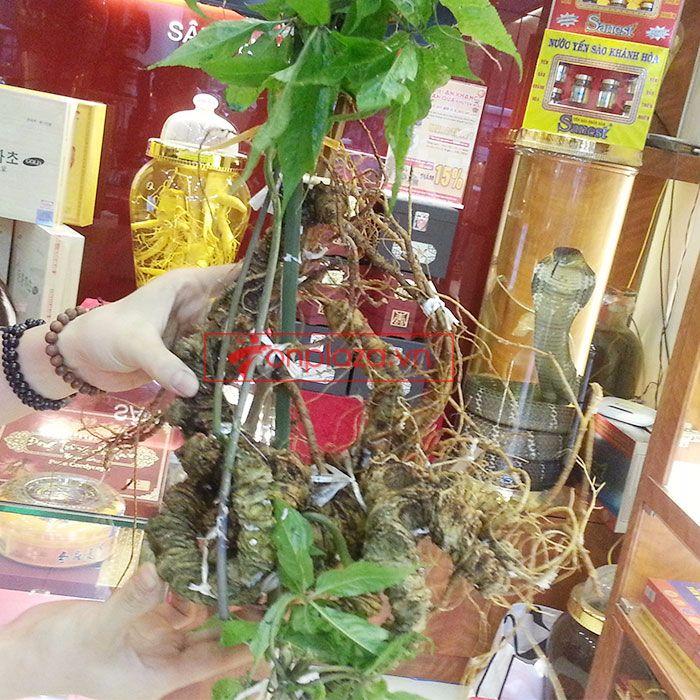 Sâm Ngọc Linh núi tự nhiên loại 1.9kg/củ 3