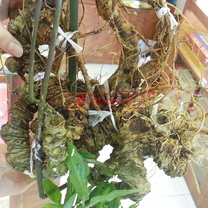 Sâm Ngọc Linh núi tự nhiên loại 1.9kg/củ 4