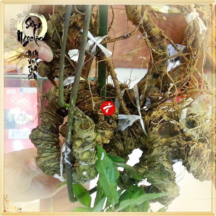 Củ Sâm Ngọc Linh núi 85 tuổi tự nhiên loại 1.9kg/củ