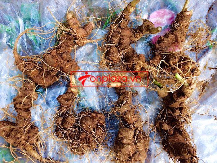 Sâm ngọc linh trồng loại 10-20 củ 1 kg 1
