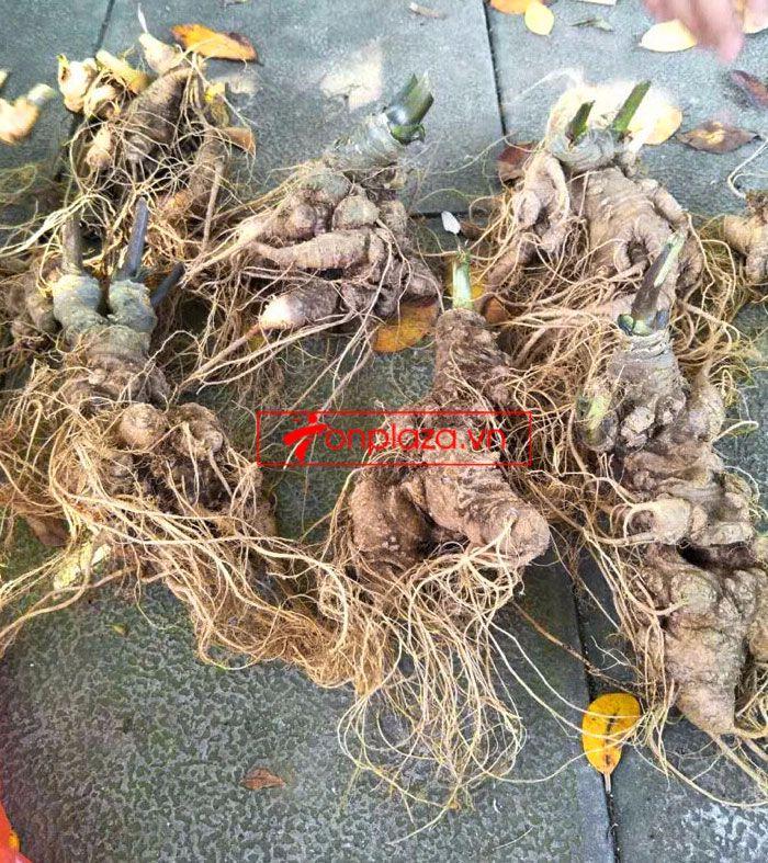 Sâm ngọc linh trồng loại 10-20 củ 1 kg 10