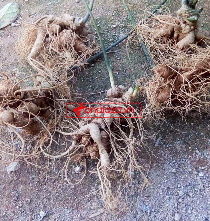 Sâm ngọc linh trồng loại 10-20 củ 1 kg 3