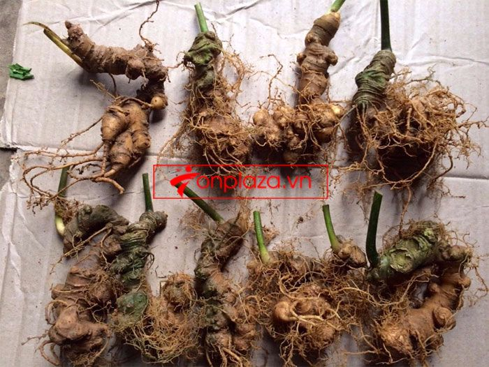 Sâm ngọc linh trồng loại 10-20 củ 1 kg 4