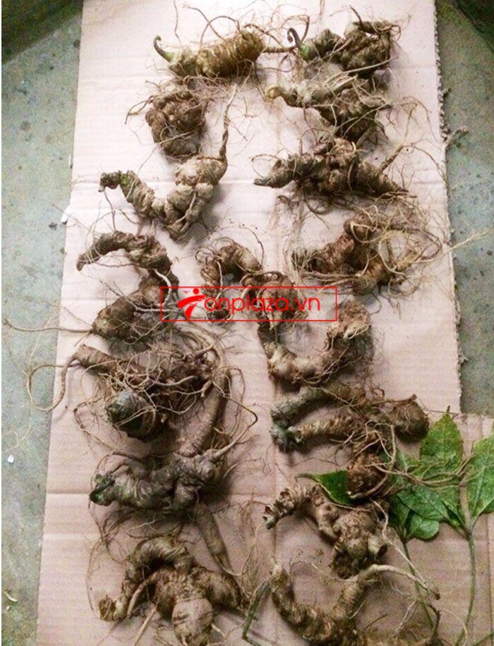 Sâm ngọc linh trồng loại 10-20 củ 1 kg 5