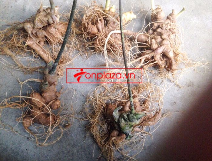 Sâm ngọc linh trồng loại 10-20 củ 1 kg 6