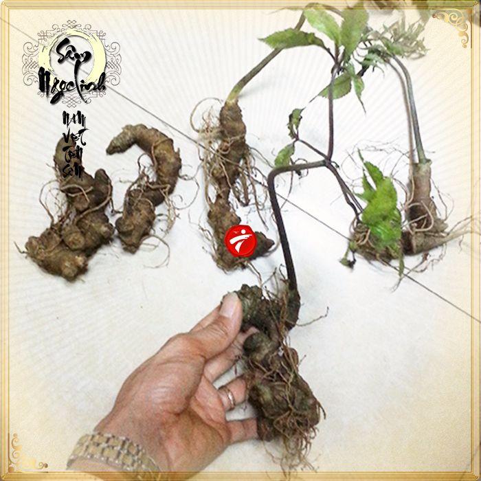 Sâm ngọc linh trồng loại 10-20 củ 1 kg