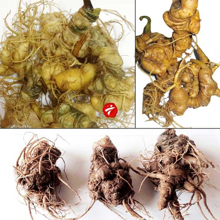Sâm Ngọc Linh trồng loại 10 củ 1 cân NS341 1