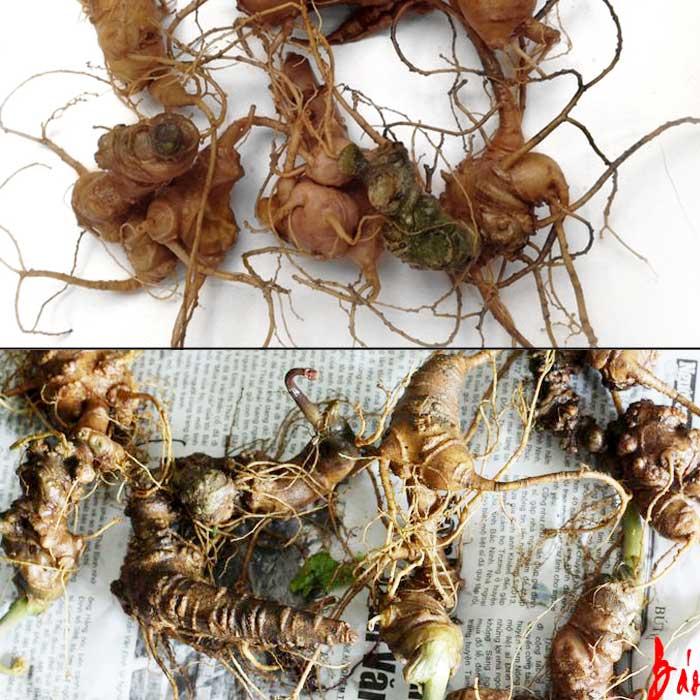 Sâm Ngọc Linh trồng loại 10 củ 1 cân NS341 3