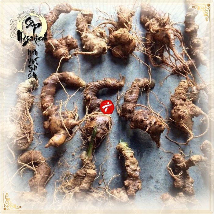 Sâm Ngọc Linh trồng loại 10 củ 1 cân NS341