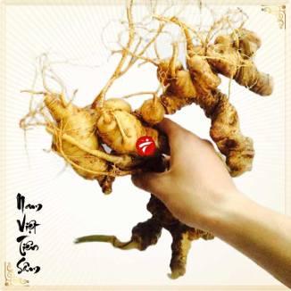 Sâm Ngọc Linh trồng loại 2- 5 củ 1 cân NS340