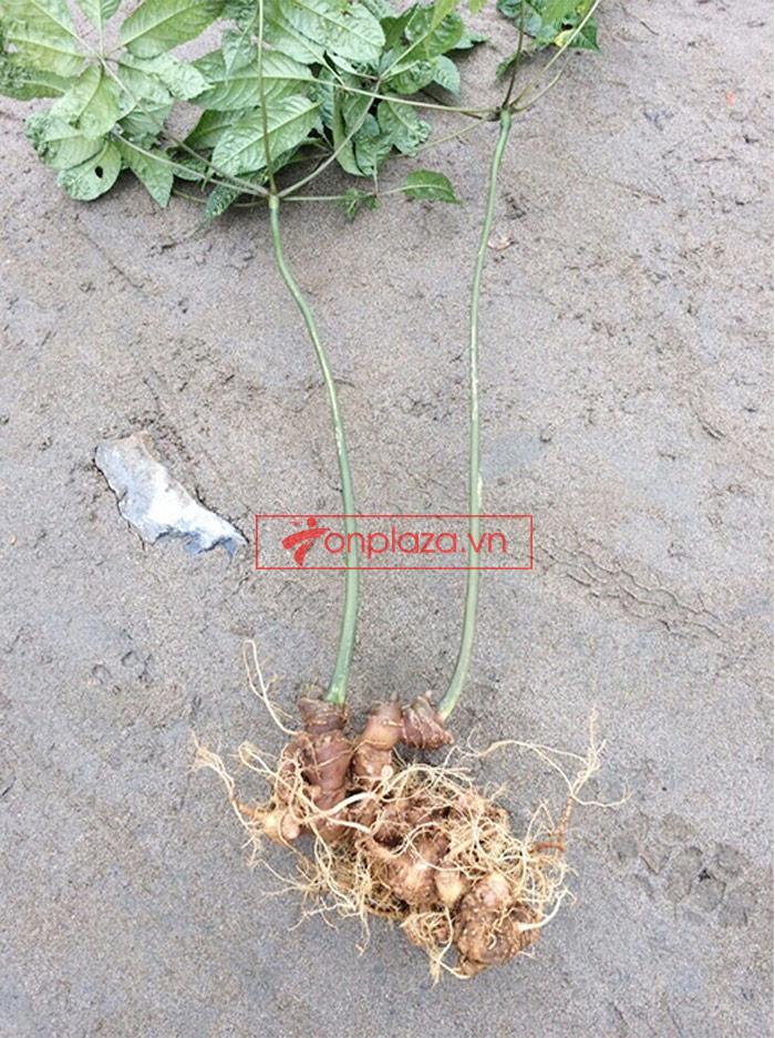 Sâm ngọc linh trồng loại củ to 1