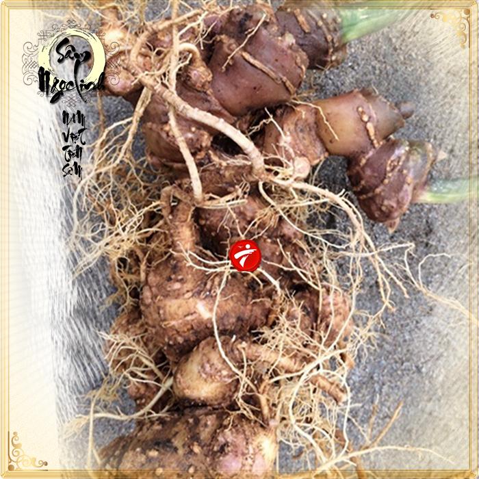 Sâm ngọc linh trồng loại củ to