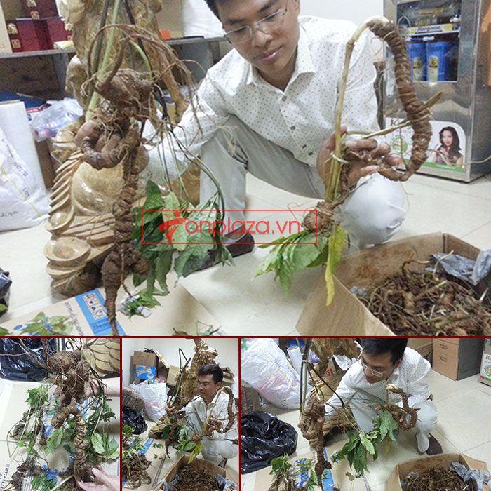 Sâm Ngọc Linh tự nhiên 1.5kg/củ 1