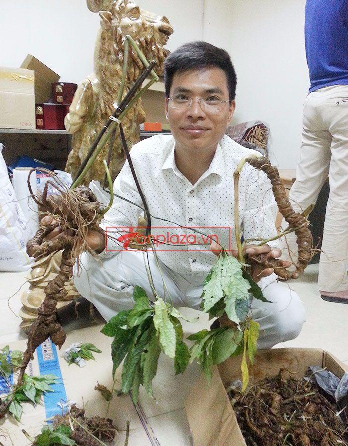 Sâm Ngọc Linh tự nhiên 1.5kg/củ 2
