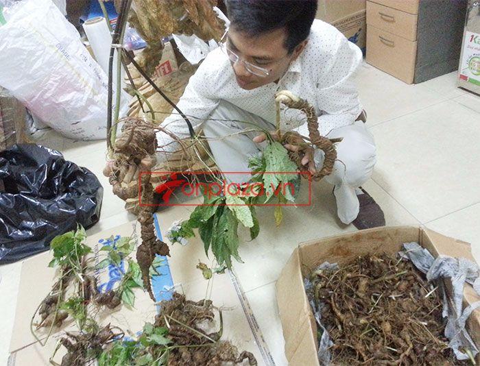Sâm Ngọc Linh tự nhiên 1.5kg/củ 3