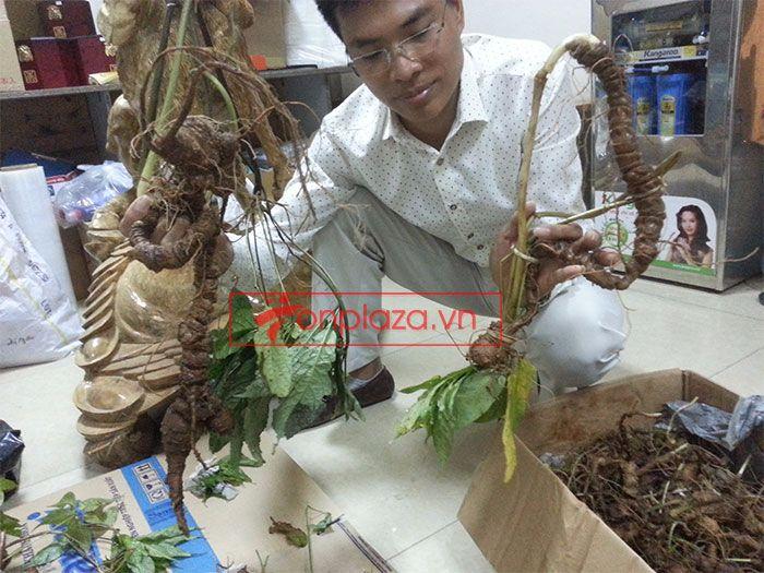 Sâm Ngọc Linh tự nhiên 1.5kg/củ 5