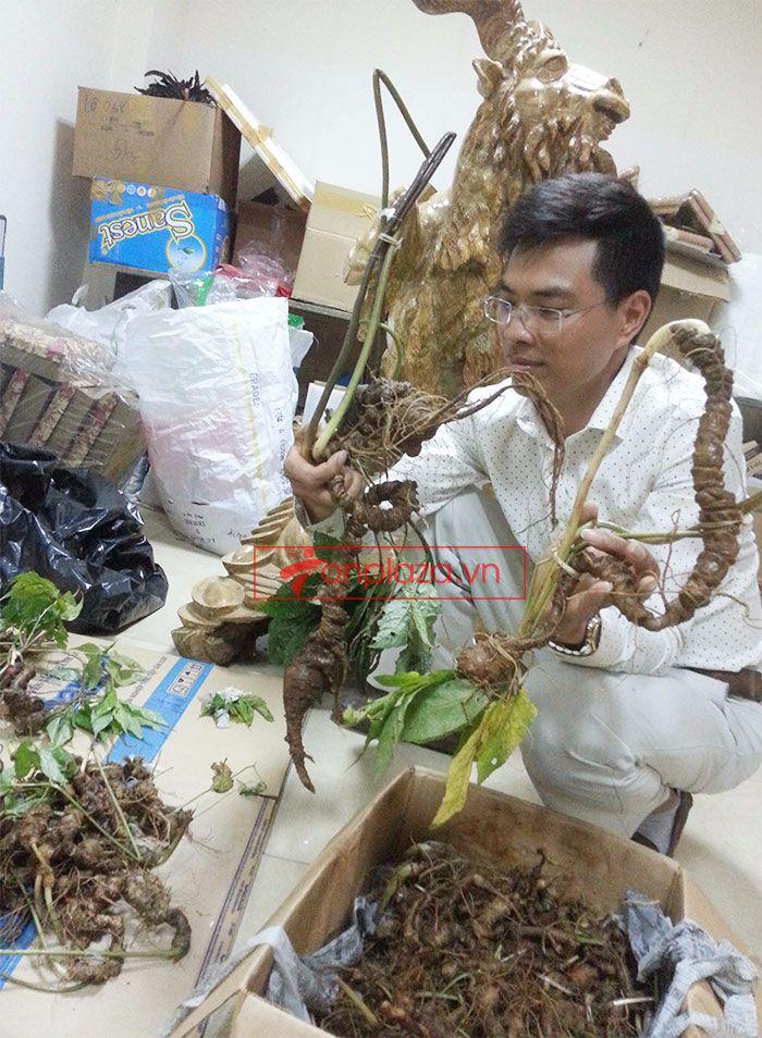 Sâm Ngọc Linh tự nhiên 1.5kg/củ 6