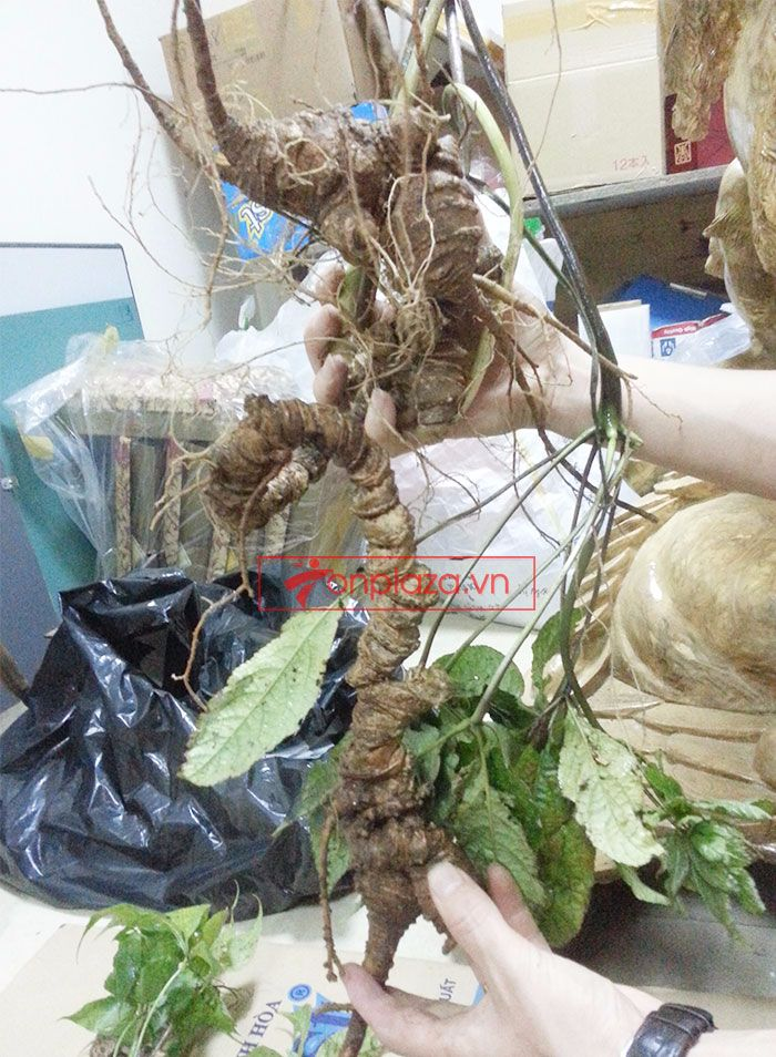 Sâm Ngọc Linh tự nhiên 1.5kg/củ 7