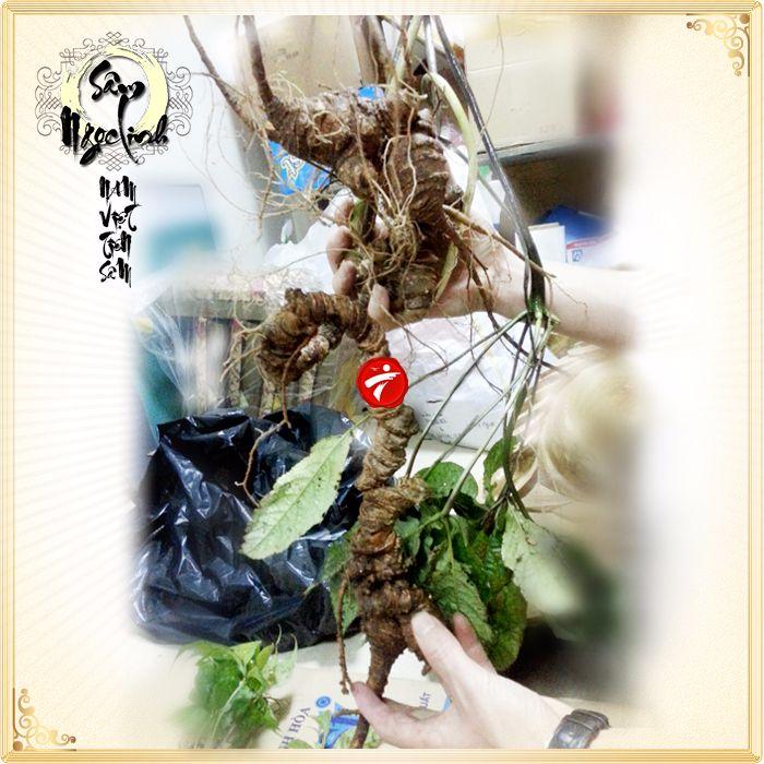 Nhân sâm Ngọc Linh dòng tự nhiên 1.5kg/củ