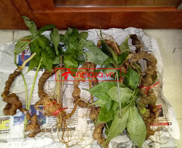 Sâm ngọc linh tự nhiên loại 10-20 củ 1 kg 10
