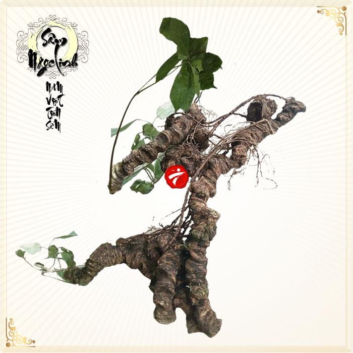 Sâm Ngọc Linh tự nhiên trên 100 tuổi xấp xỉ 2,4kg /củ NS293