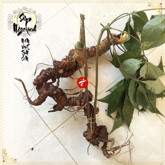 Sâm Ngọc Linh tự nhiên 90 năm tuổi loại 1kg-1,2kg/1 củ NS296