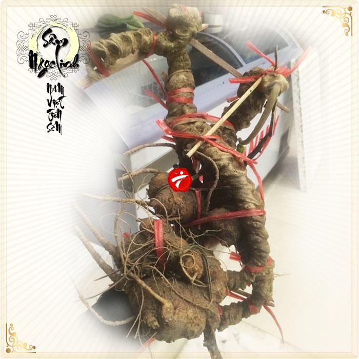 Sâm ngọc linh tự nhiên xấp xỉ 150 năm tuổi loại 3,3 kg/củ NS294