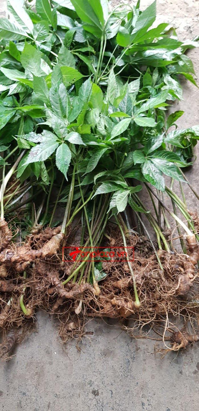 Sâm Ngọc Linh tự nhiên loại 30 củ/1 kg 1