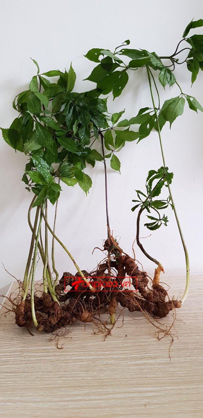 Sâm Ngọc Linh tự nhiên loại 30 củ/1 kg 4