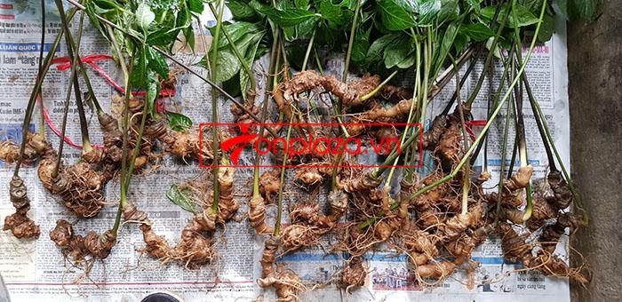 Sâm Ngọc Linh tự nhiên loại 30 củ/1 kg 6