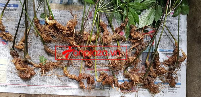Sâm Ngọc Linh tự nhiên loại 30 củ/1 kg 8