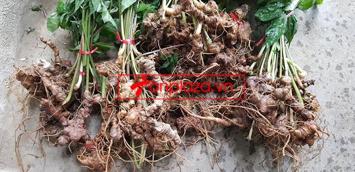 Sâm Ngọc Linh tự nhiên loại 30 củ/1 kg 10