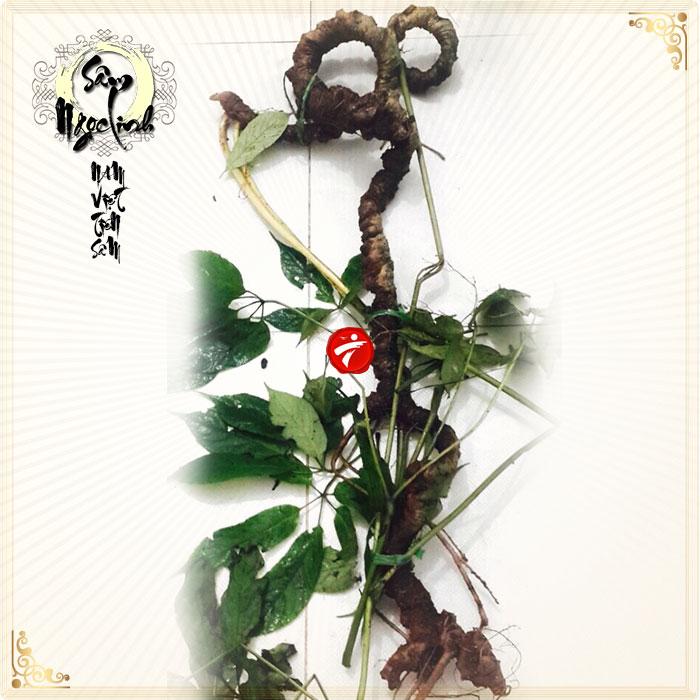 Sâm Ngọc Linh tự nhiên loại 85 năm tuổi 8 lạng-9 lạng/củ NS295